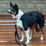 Puppy Dog Training Classes Bearsden-09