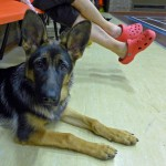 Puppy Dog Training Classes Glasgow-13