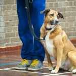Puppy Dog Training Classes Glasgow-18